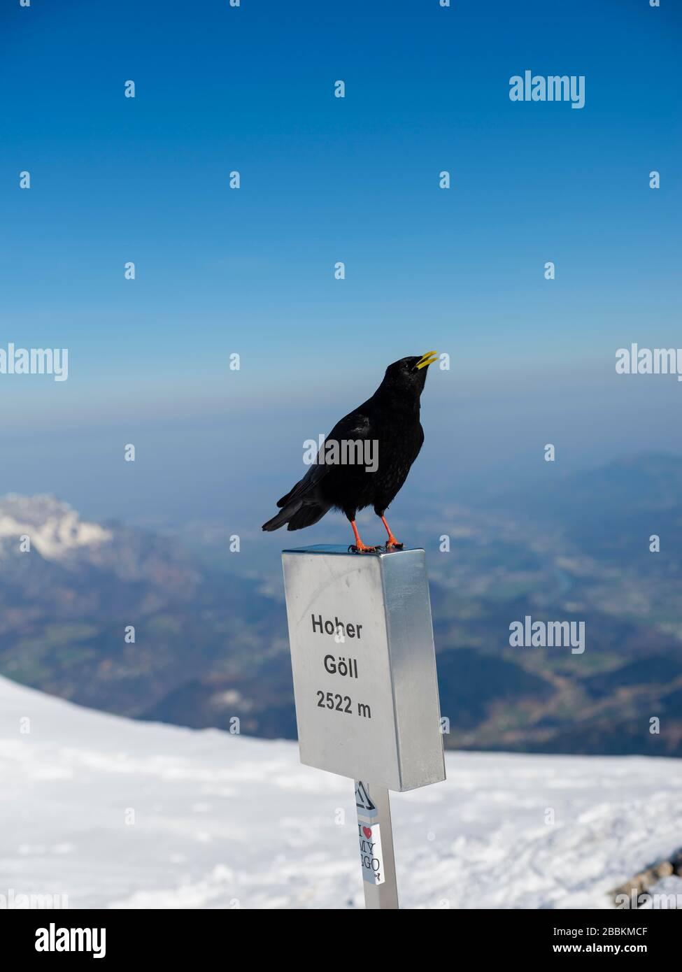 Alpine Chough (Pyrrhocorax graculus) on the summit mark of the Hohe Goell, in winter, Berchtesgaden Alps, Berchtesgaden National Park Stock Photo