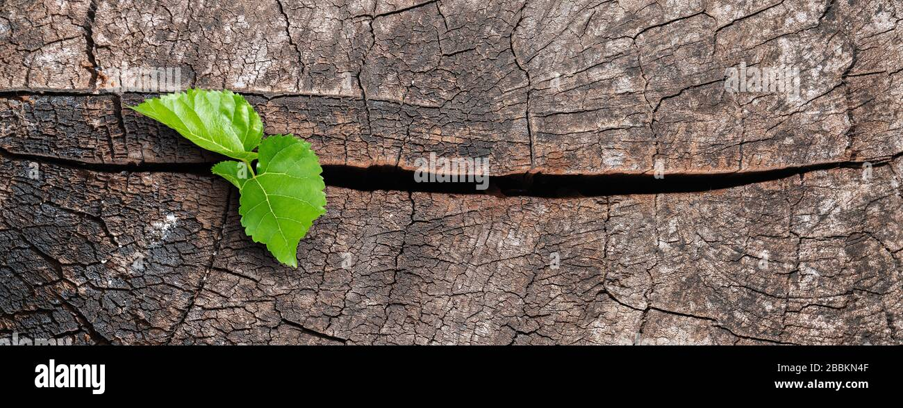 A new life start with the sprout of green leaves on a dead trees stump. Recovery of the Nature Stock Photo