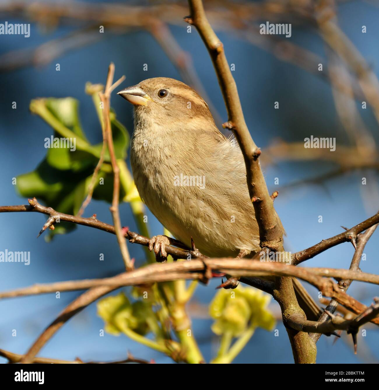 House sparrow in urban garden looking for food in winter sunshine. Stock Photo