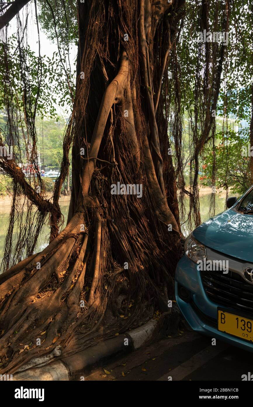 Jakarta, Indonesia - July 13, 2019: An old banyan tree sinks its roots into the sidewalk, looking for water in one of the canals of Jakarta. Stock Photo