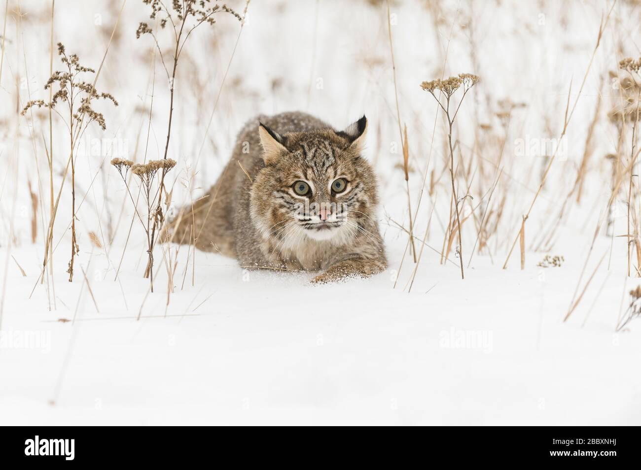 Bobcat stalking, (Lynx rufus), North America, by Dominique Braud/Dembinsky Photo Assoc Stock Photo