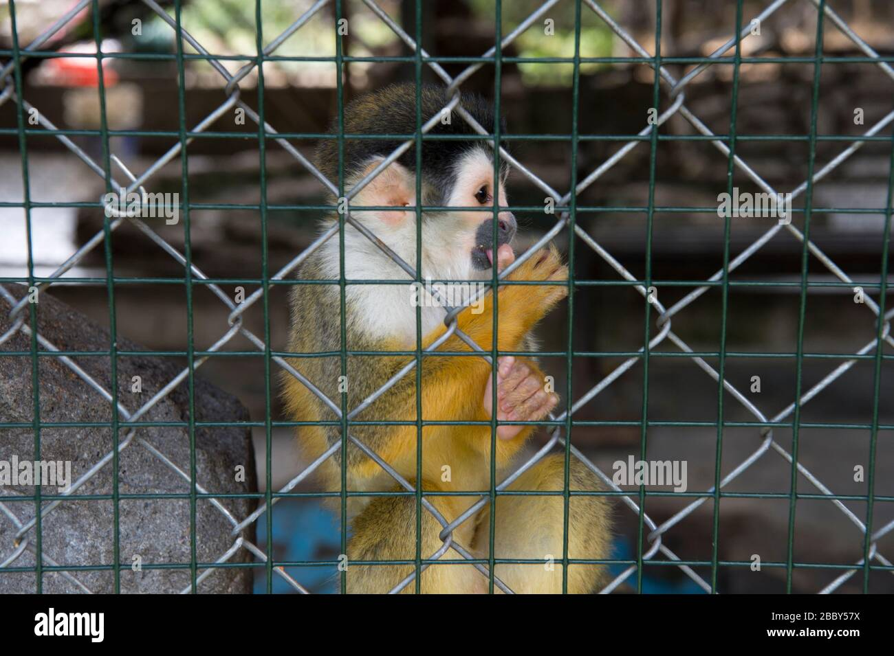 Central American squirrel monkey (Saimir oerstedii) in a cage in western Panama Stock Photo