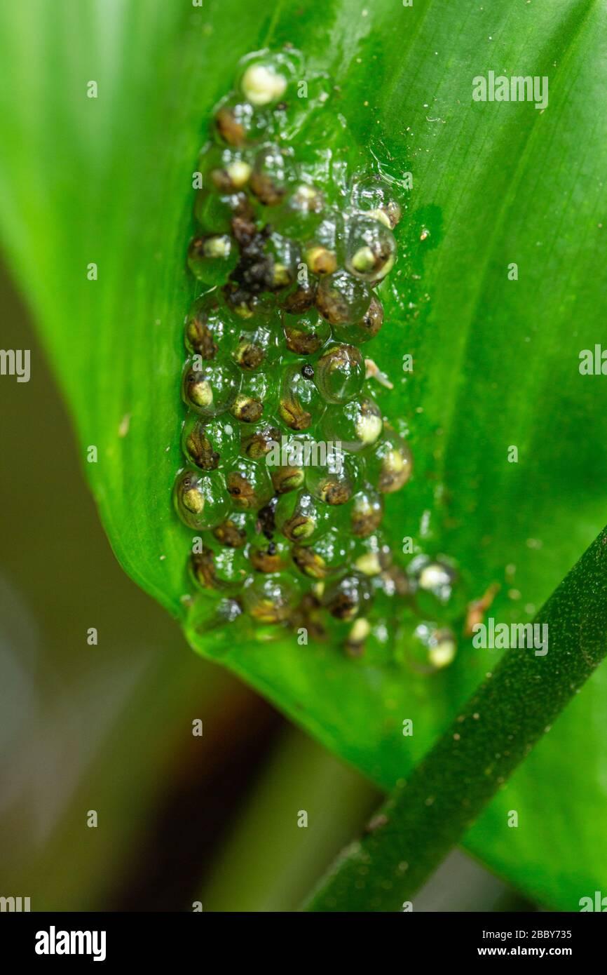 Clutch of Red-eyed treefrog (Agalychnis callidryas) eggs hanging on leaf in Puerto Viejo de Talamanca, Costa Rica. Stock Photo