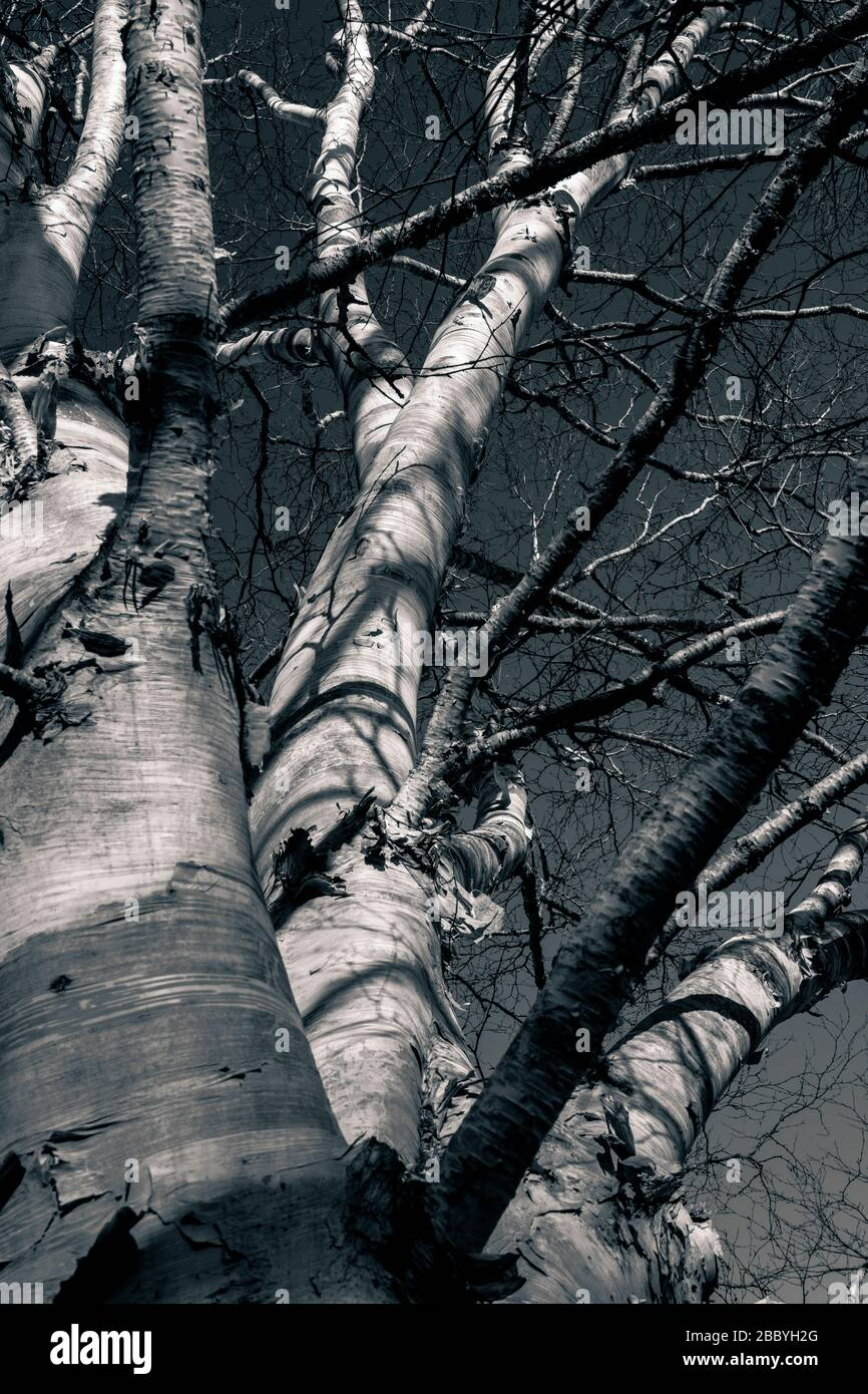 Black And White Image Looking Up At Silver Birch Tree Stock Photo Alamy
