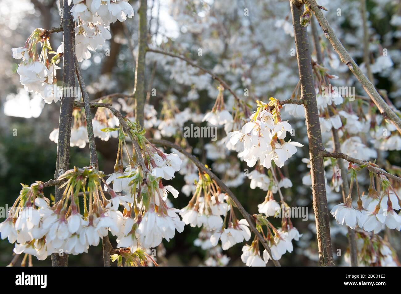 beautiful dogwood branches in large glass vase beautiful.htm graceful branches stock photos   graceful branches stock images  graceful branches stock photos
