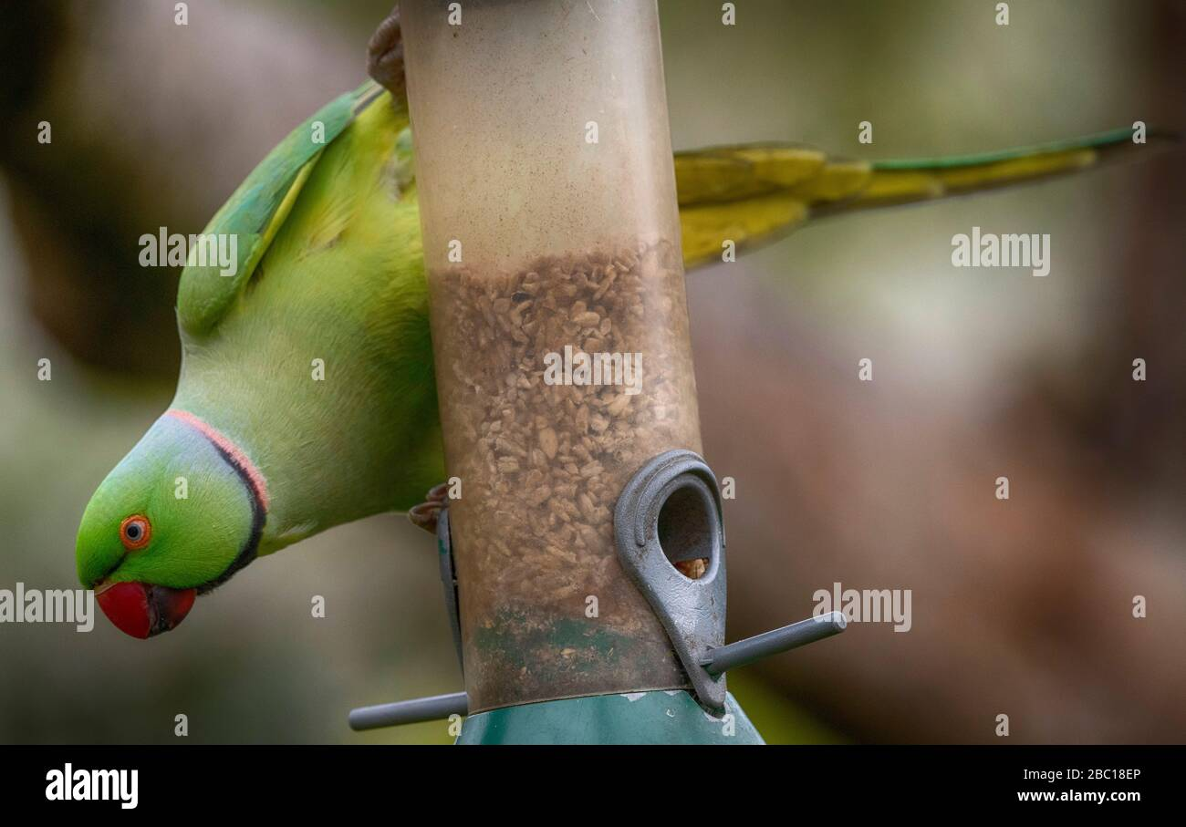 London, UK. 2nd April 2020. Ring Necked Parakeet feeds from hanging bird feeder in a suburban garden. Credit: Malcolm Park/Alamy Live News. Stock Photo