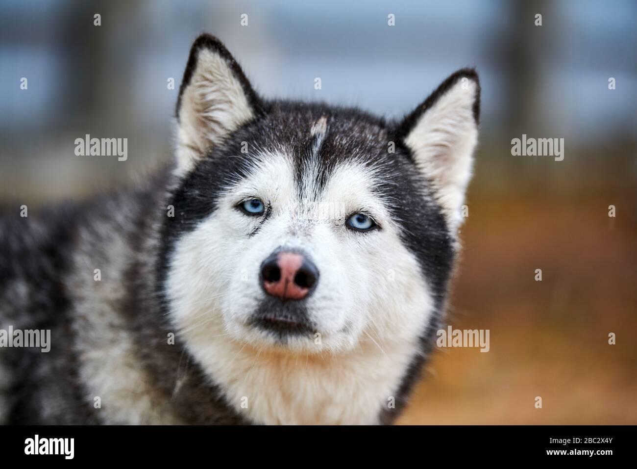 Husky dog outdoor portrait. Funny pet on walking before sled dog racing. Stock Photo