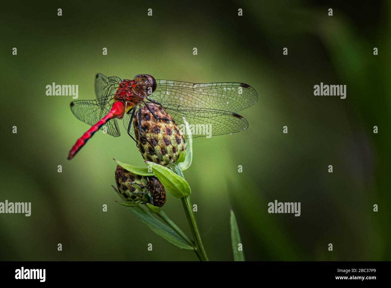 A Ruby Meadowhawk dragonfly keeps watch over the lakeshore at Scotts Run Stock Photo