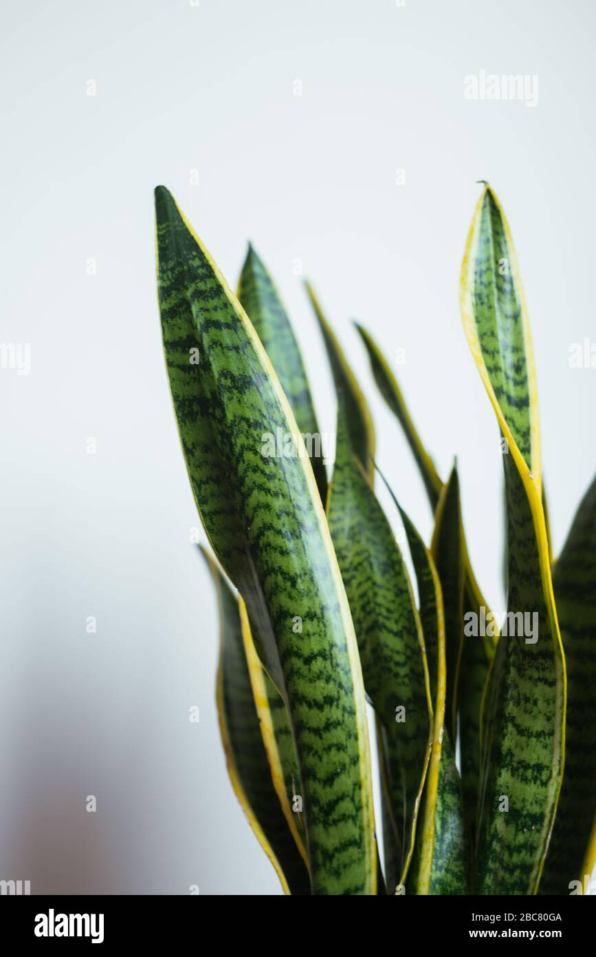 Snake Plant Home High Resolution Stock Photography And Images Alamy
