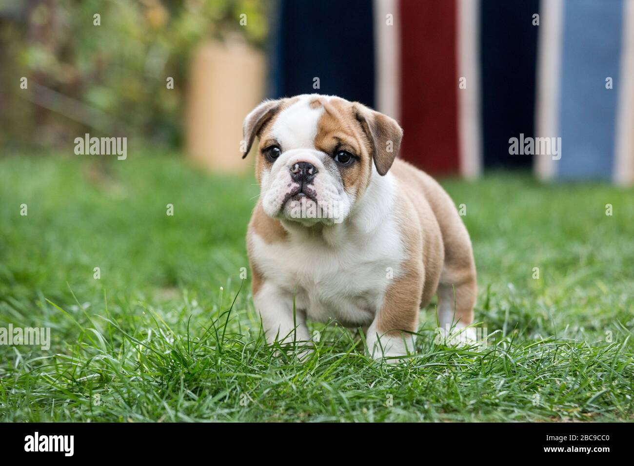 Cute English Bulldog Puppies Posing They Are Only Few Months Old Stock Photo Alamy