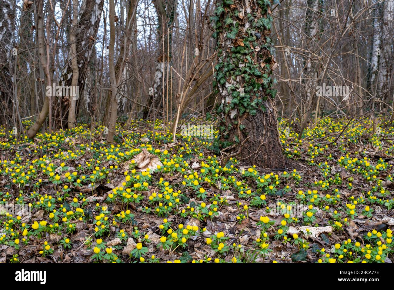 Winter aconites, signs of spring, Eranthis hyemalis Stock Photo