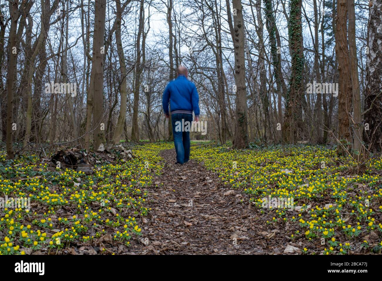 Winter aconite, Eranthis hyemalis, strollers Stock Photo