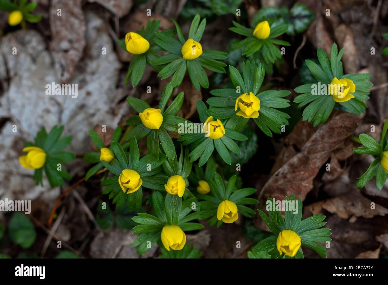 Winter aconites, signs of spring, Eranthis hyemalis Stock Photo