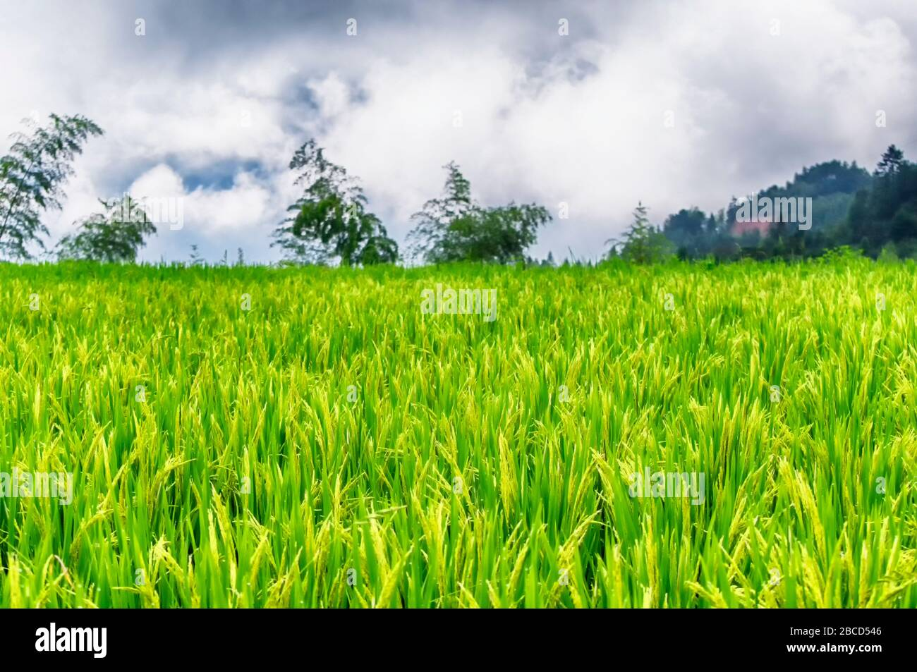 a field of growing rice in yunhe county rice terraces on a cloudy day in Zhejiang province China. Stock Photo