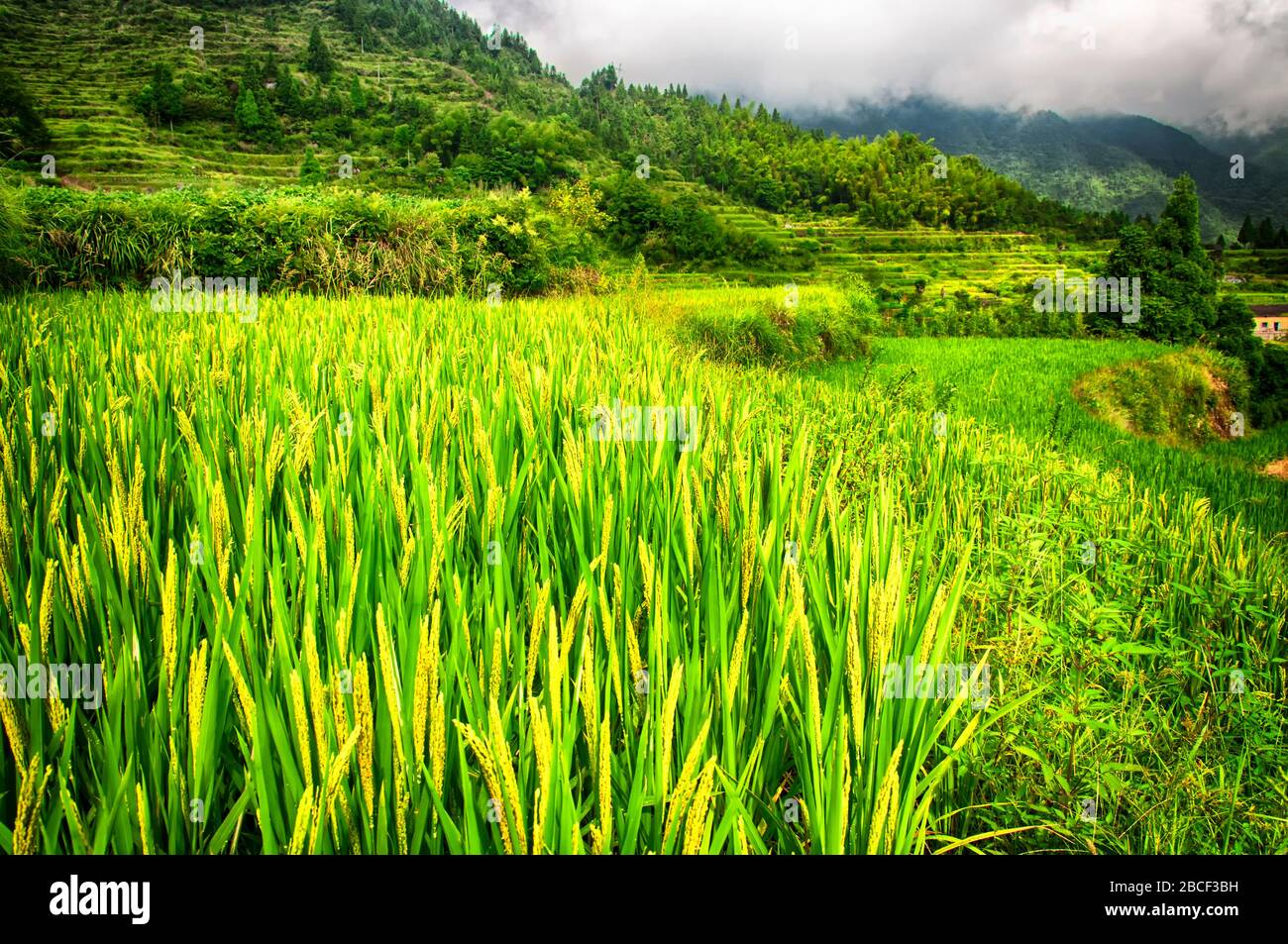 The Yunhe cloud rice terraces landscape in the summer in Zhejiang province China on a foggy overcast day. Stock Photo