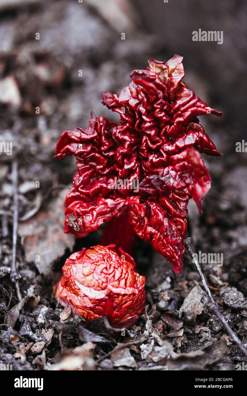 Rhubarb sprouts with red leaves growing in the ground in spring. Fresh natural root. Stock Photo