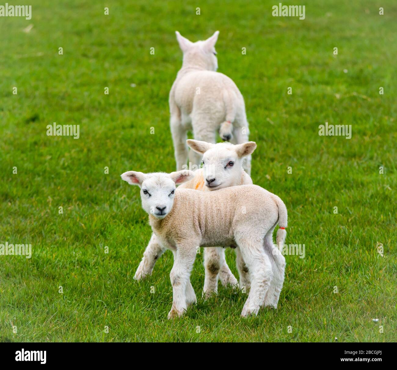 Close up of cute Spring lambs in grassy field, East Lothian, Scotland, UK Stock Photo