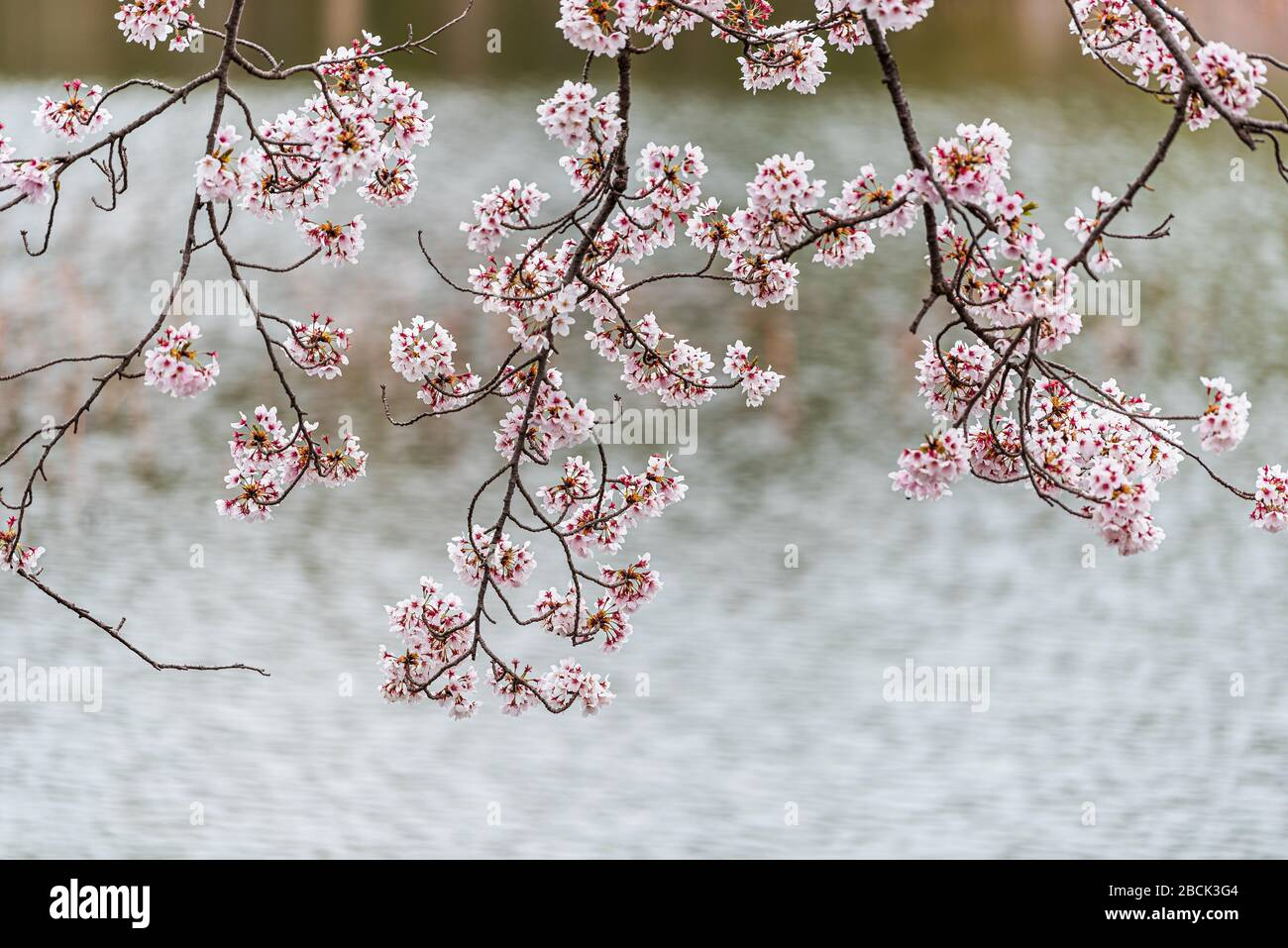 Japanese cherry blossom on sakura tree branches by Osawa-no-Ike Pond lake in spring in Arashiyama area by Daikakuji Temple with water ripples in blurr Stock Photo