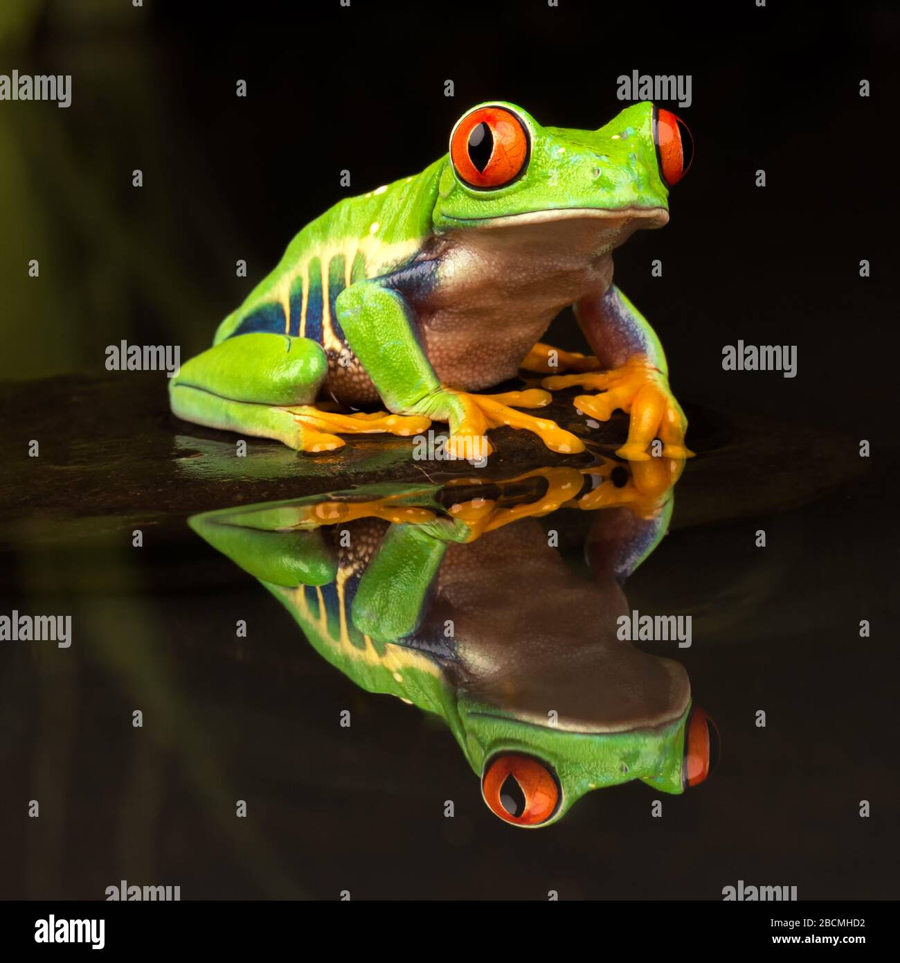 Central / South American Red Eyed Tree Frog (Agalychnis callidryas) sitting on a stone in a still pond with reflection Stock Photo