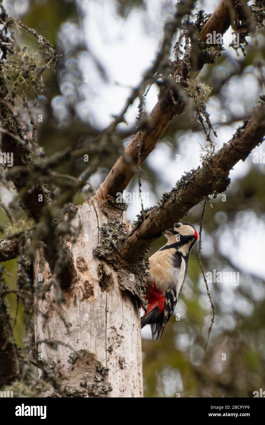 a middle spotted woodpecker sitting on a branch and hiding behind a branch in Bialowieza national park, Poland Stock Photo