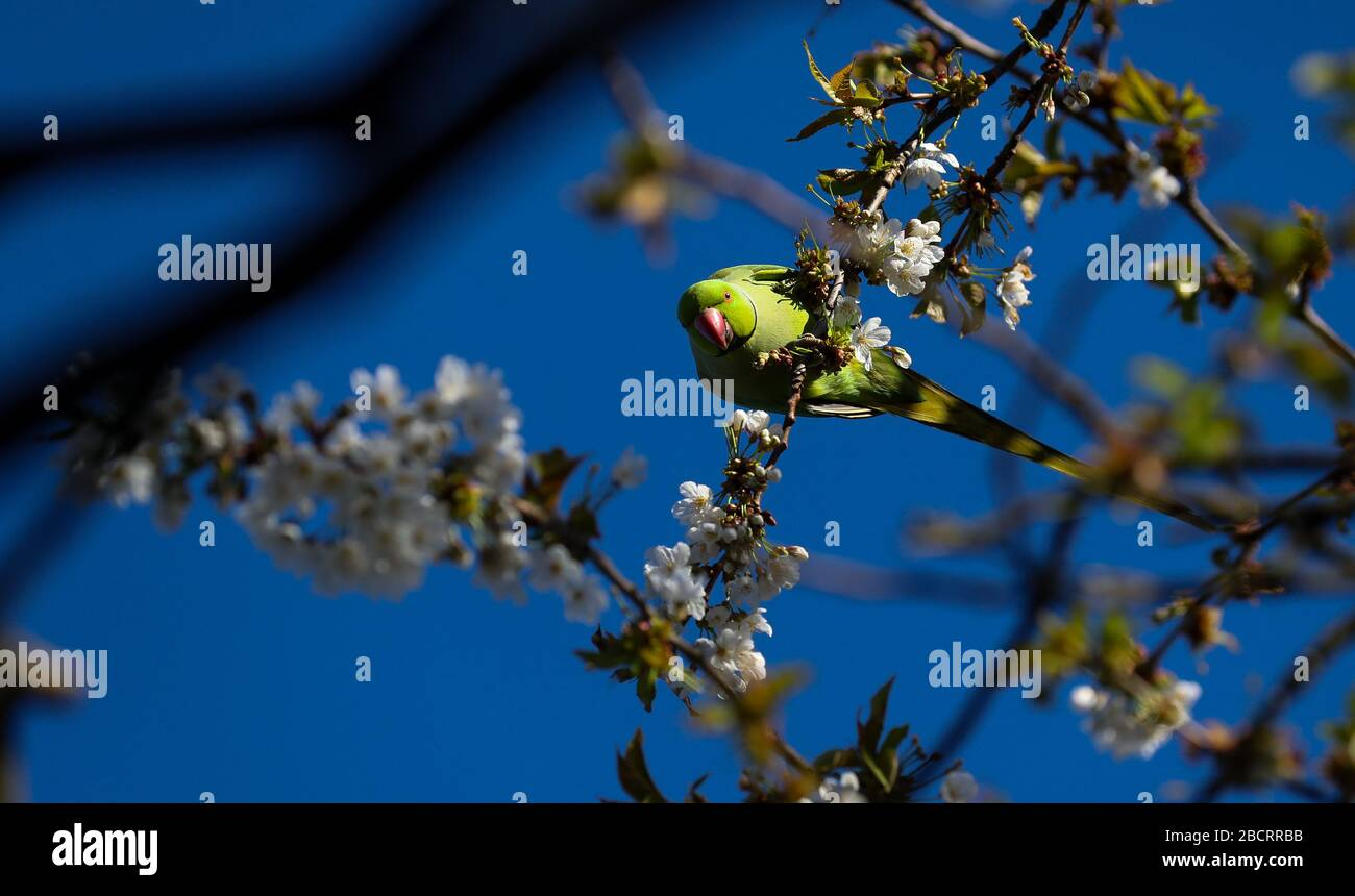 London, UK. 5th Apr, 2020. Green Ring-Necked (rose-ringed) Parakeets feed from a cherry tree in blossom in a Twickenham garden. Credit: Andrew Fosker/Alamy Live News Stock Photo