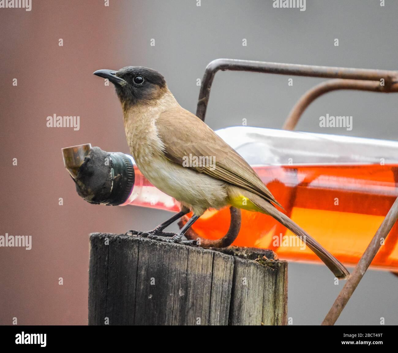 African cape bulbul or Pycnonotus capensis feeding on a bird feeder iin South Africa Stock Photo