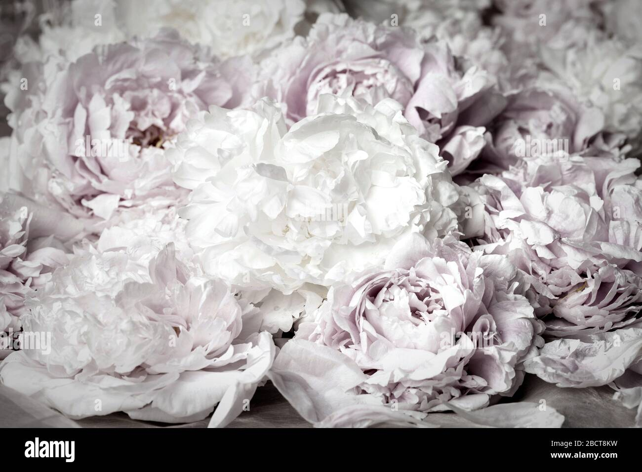 Vintage image of  white - black peony background Stock Photo