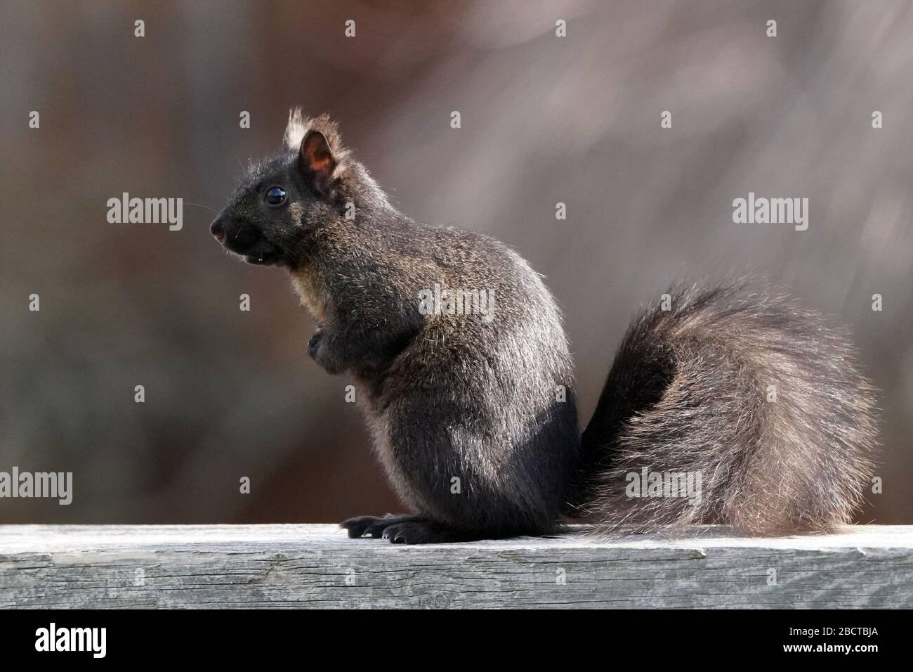 Black and grey squirrels Stock Photo