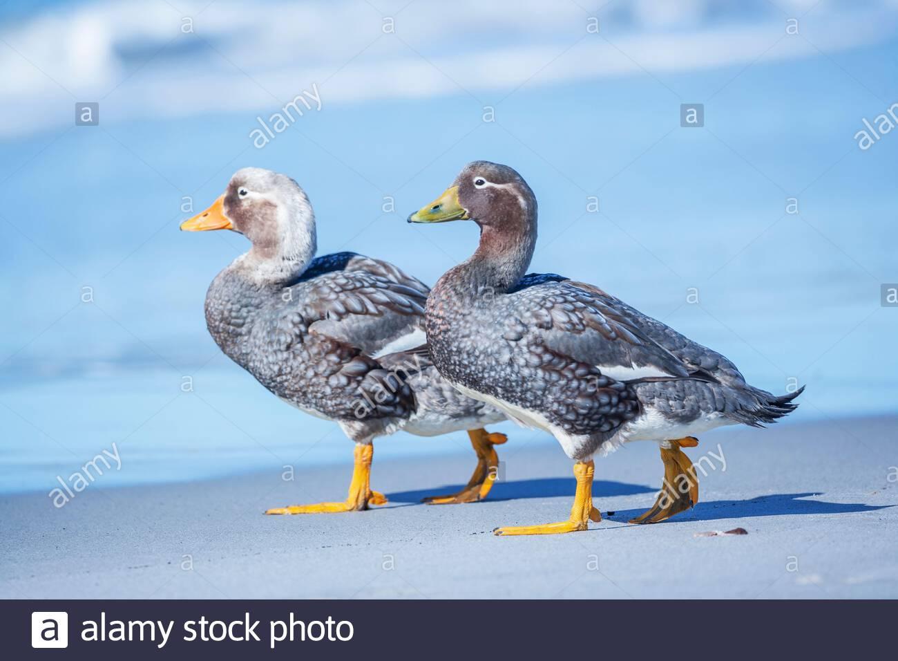 Steamer ducks (Tachyeres brachypterus) walking, Falkland Islands, South America Stock Photo