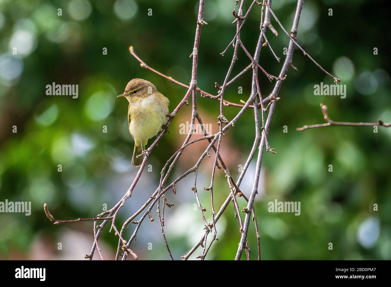 Common garden bird the Chiffchaff in tree branches. Stock Photo