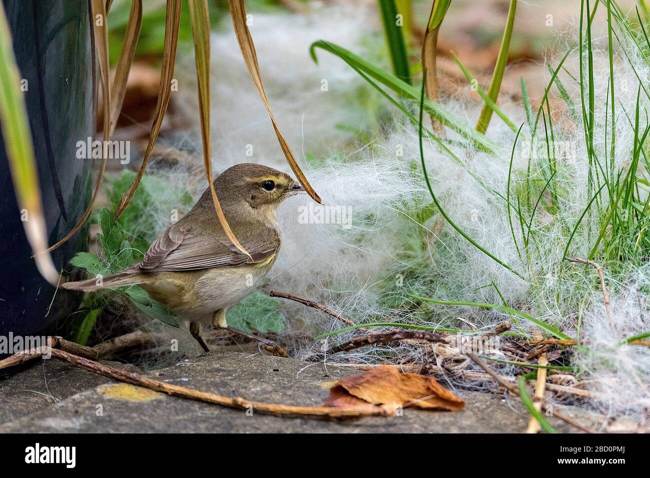 Common garden bird the Chiffchaff collecting nest material. Stock Photo