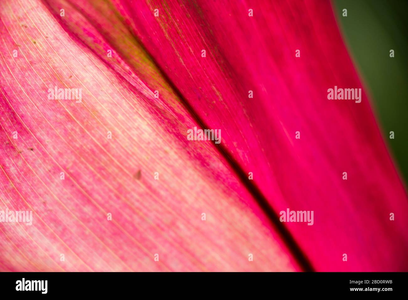 Close up background view of colorful purple ornamental leaves on a Bromeliad plant Stock Photo
