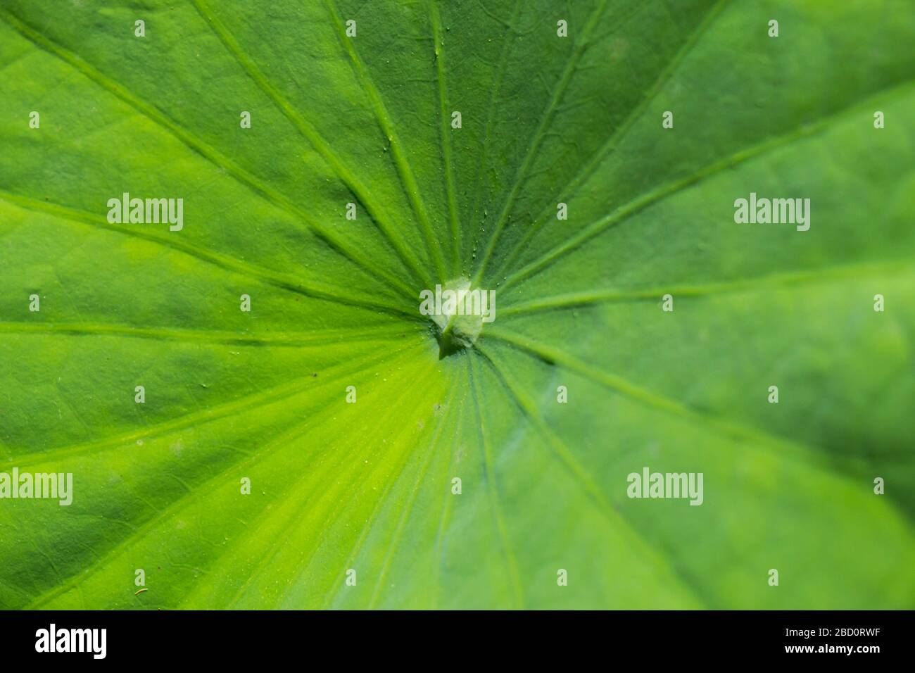 Pretty blue lotus flower or water lily blooming in a pond above the large flat green floating lily pads or leaves on the surface of the water Stock Photo