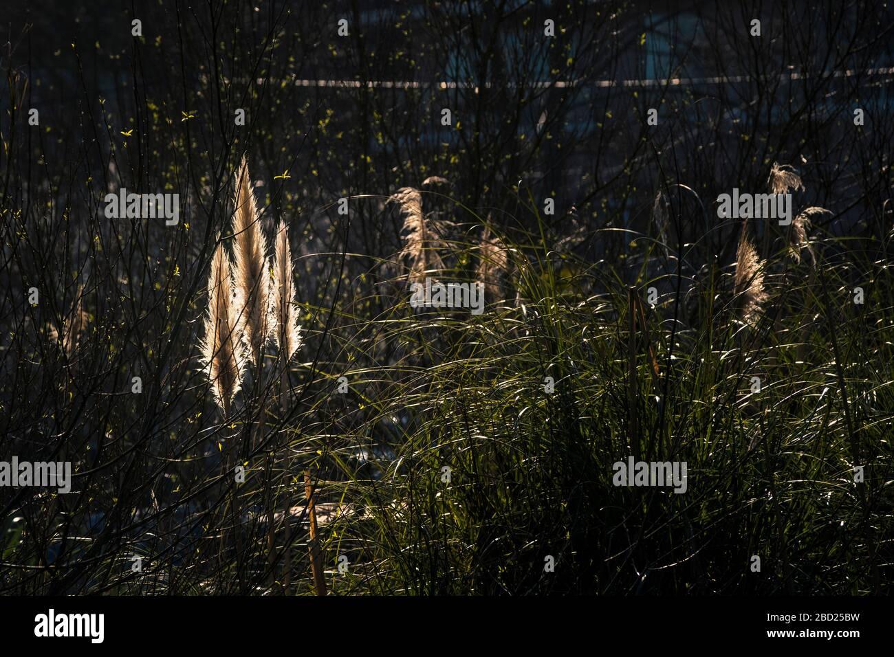 Pampas Grass Cortaderia selloana flowers inflorescences backlit by evening light. Stock Photo