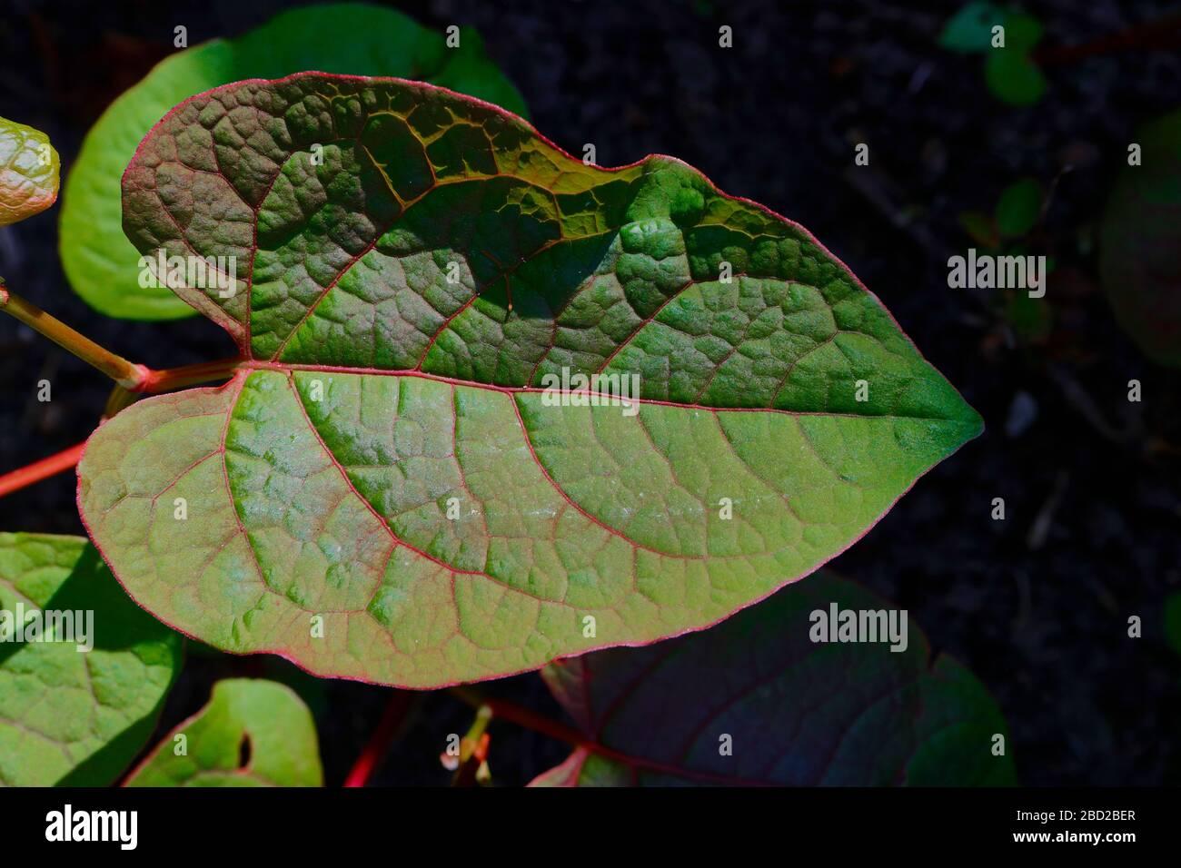 Japanese Knotweed (Reynoutria japonica, Fallopia japonica or Polygonum cuspidatum). Close up leaf Stock Photo