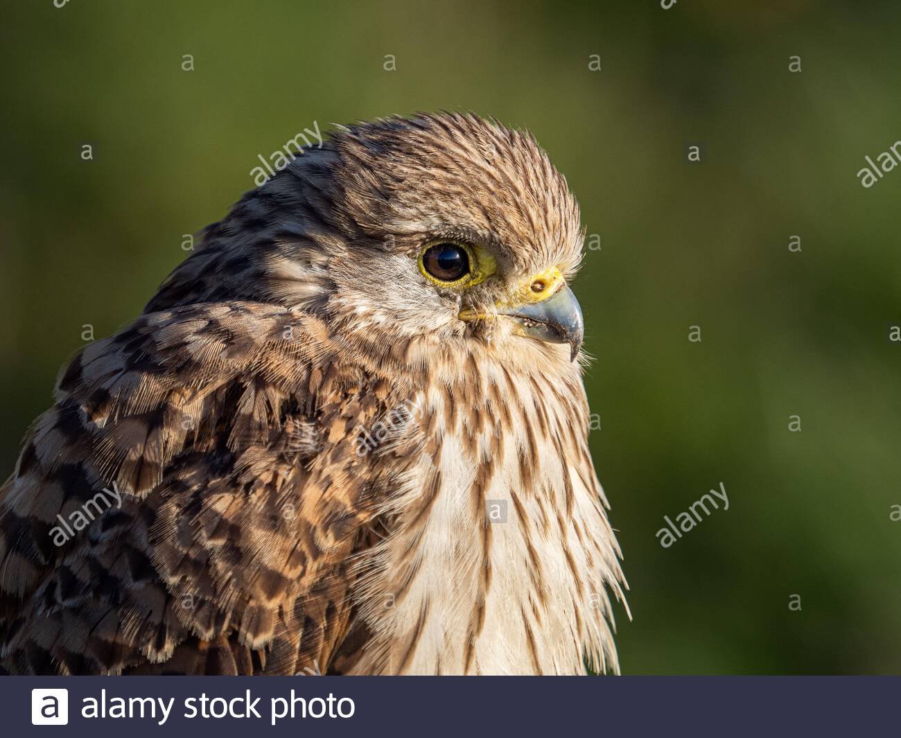 A common kestrel (Falco tinnunculus) in the Beddington Farmlands Nature Reserve, Sutton, London. Stock Photo