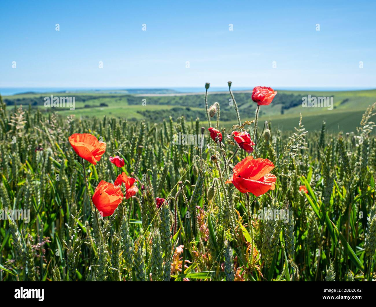 Red poppies bloom in a wheat field in the South Downs, a national park in England. The red poppy is a symbol of remembrance of the First World War. Stock Photo