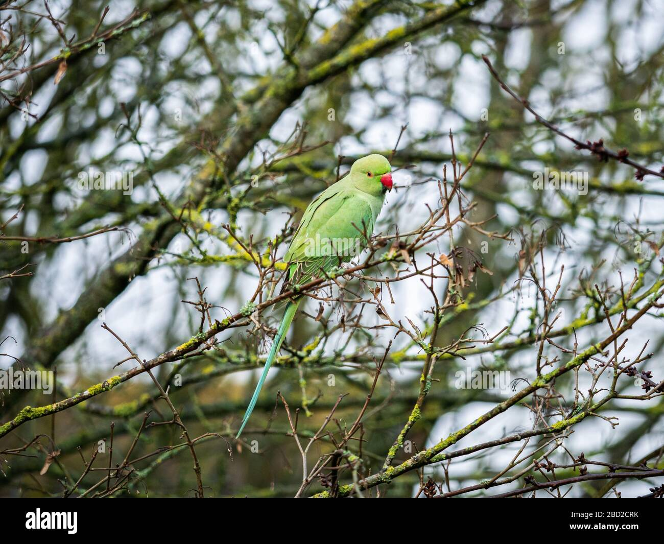A feral parakeet (Psittacula krameri) seen in a tree at the Beddington Farmlands Nature Reserve, Sutton, London. Stock Photo