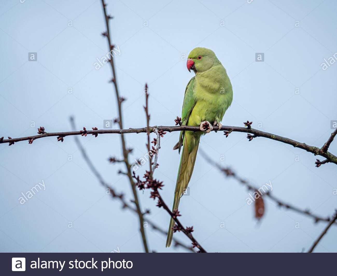A feral parakeet (Psittacula krameri) seen in a tree at the Beddington Farmlands Nature Reserve, Sutton, London. Stock Photo