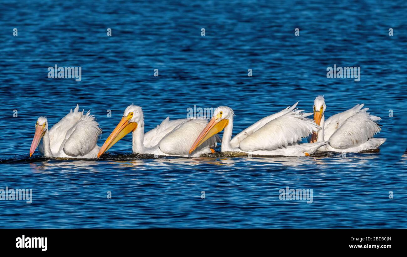 A flock of American White Pelicans (Pelecanus erythrorhynchos) swimming and fishing as a group in Merritt Island National Wildlife Refuge, Florida. Stock Photo