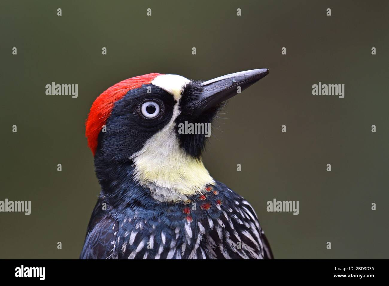 Acorn Woodpecker in Costa Rica cloud forest Stock Photo