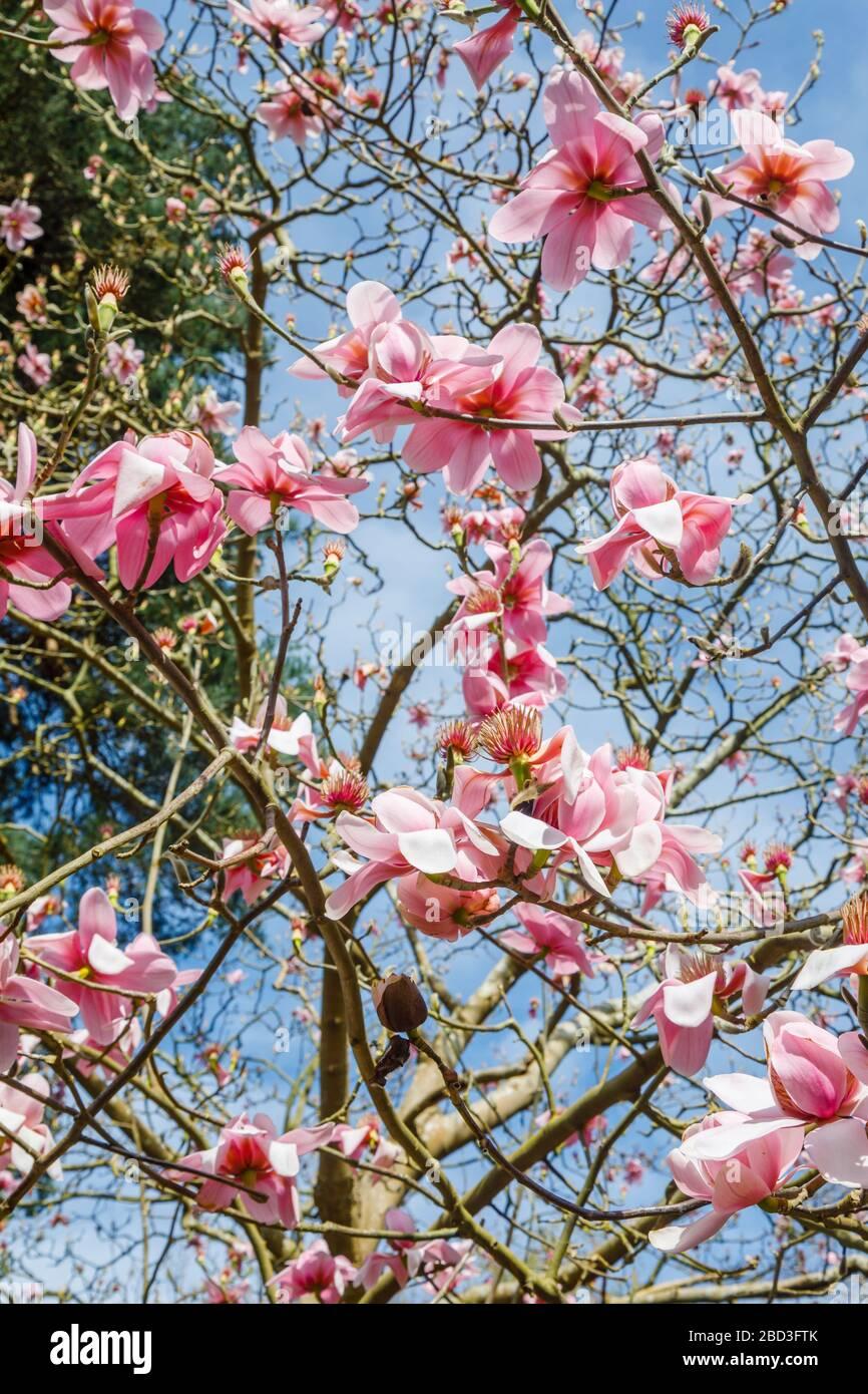 Spring flowering pink magnolia campbellii blooming in flower in springtime at RHS Garden, Wisley, Surrey in spring Stock Photo