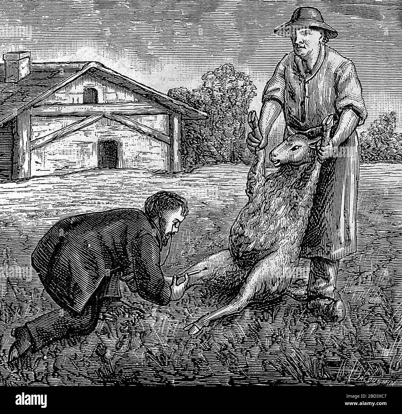 Louis Pasteur inoculating sheep against anthrax. Stock Photo