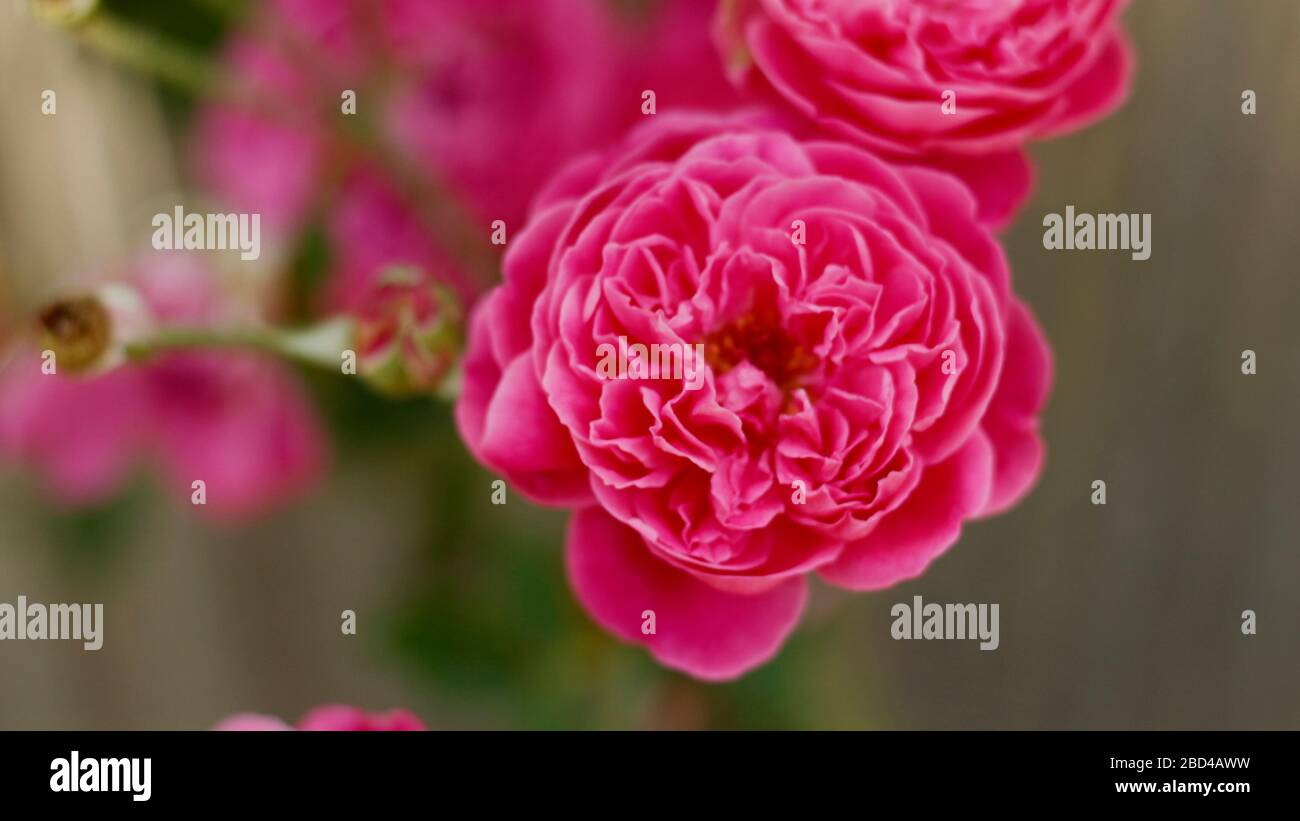 Beautigul Rose flowers in Village Stock Photo