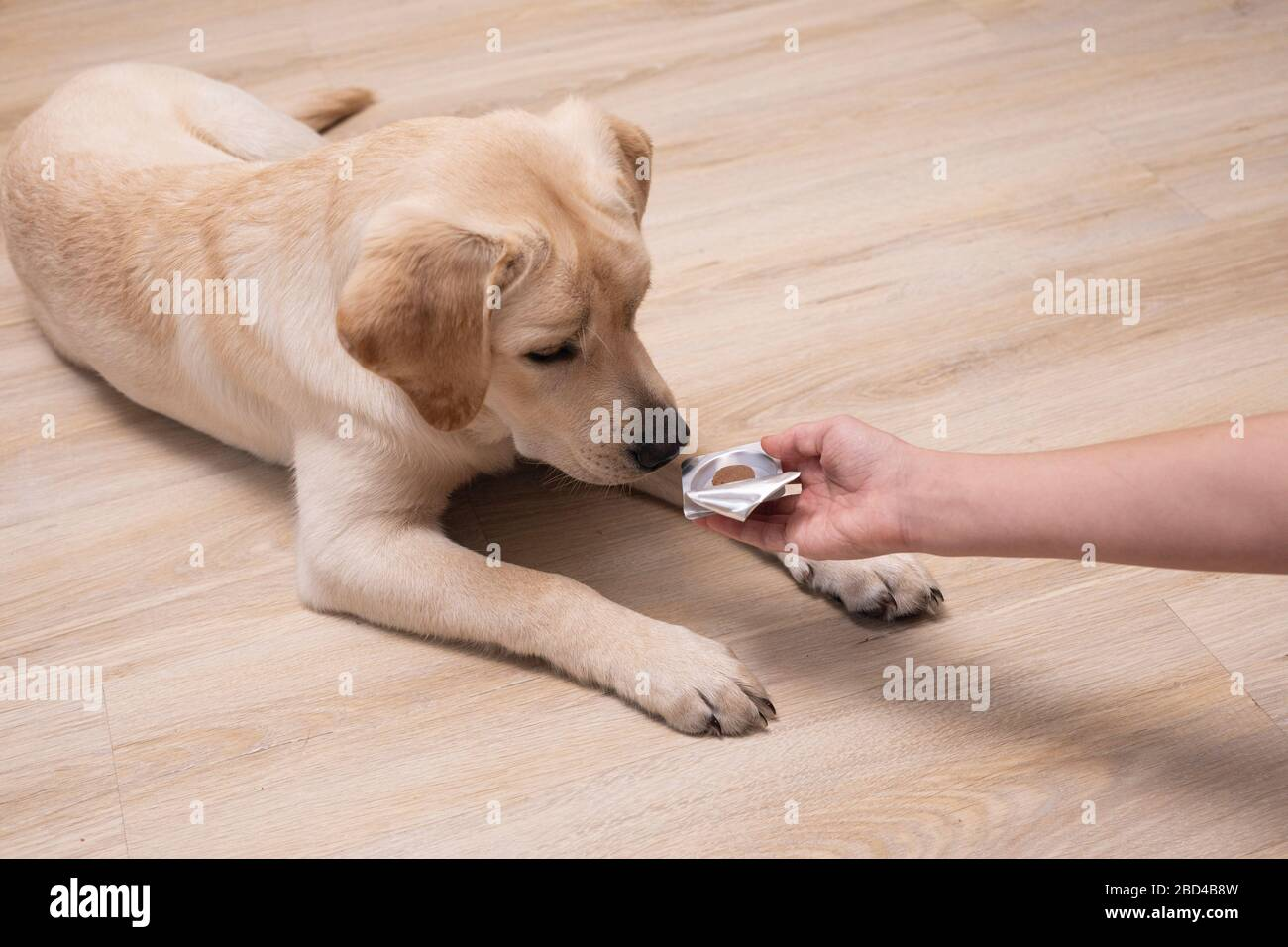 Owner giving medicament to puppy. veterinary medicine, pet, animals, health care concept. Stock Photo