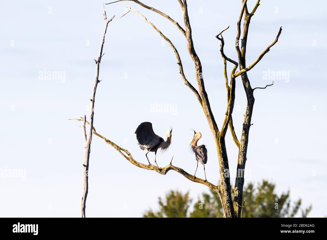 Two Great Blue Herons performing a courtship ritual at the top of a tall tree in a rookery. Stock Photo