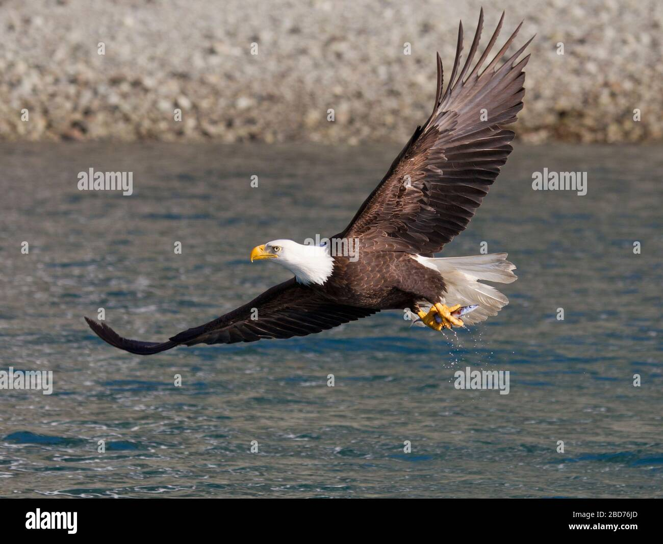Bald Eagle Adult flying with fish in talons Stock Photo