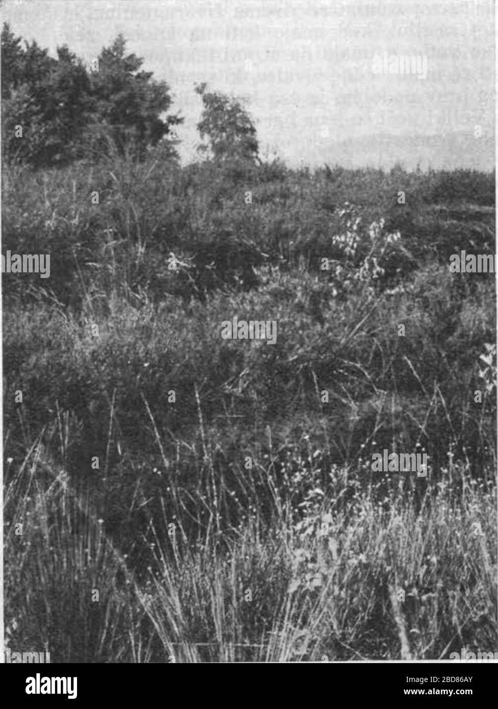 """""""Slovenščina: Pokrajina v bližini Grmeza. Tla so poraščena s mnogovrstnimi šaši (Carex), kljunko (Rhynchospora alba), bico (Schoenoplectus coronatus) in mnogimi dru- gimi rastlinami, ki raslo zgolj na barju. Grmovje v ozadju je večinoma krhljivka (Rhamnus frangula).; 1943; This image is available from the Digital Library of Slovenia under the reference number NZODPTIE  This tag does not indicate the copyright status of the attached work. A normal copyright tag is still required. See Commons:Licensing for more information. Deutsch  English  español  italiano  македонски  polski  português Stock Photo"""