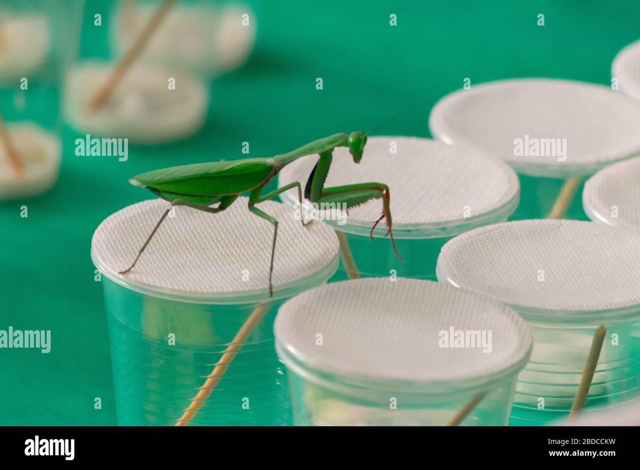 a praying mantis walking on glass jars Stock Photo