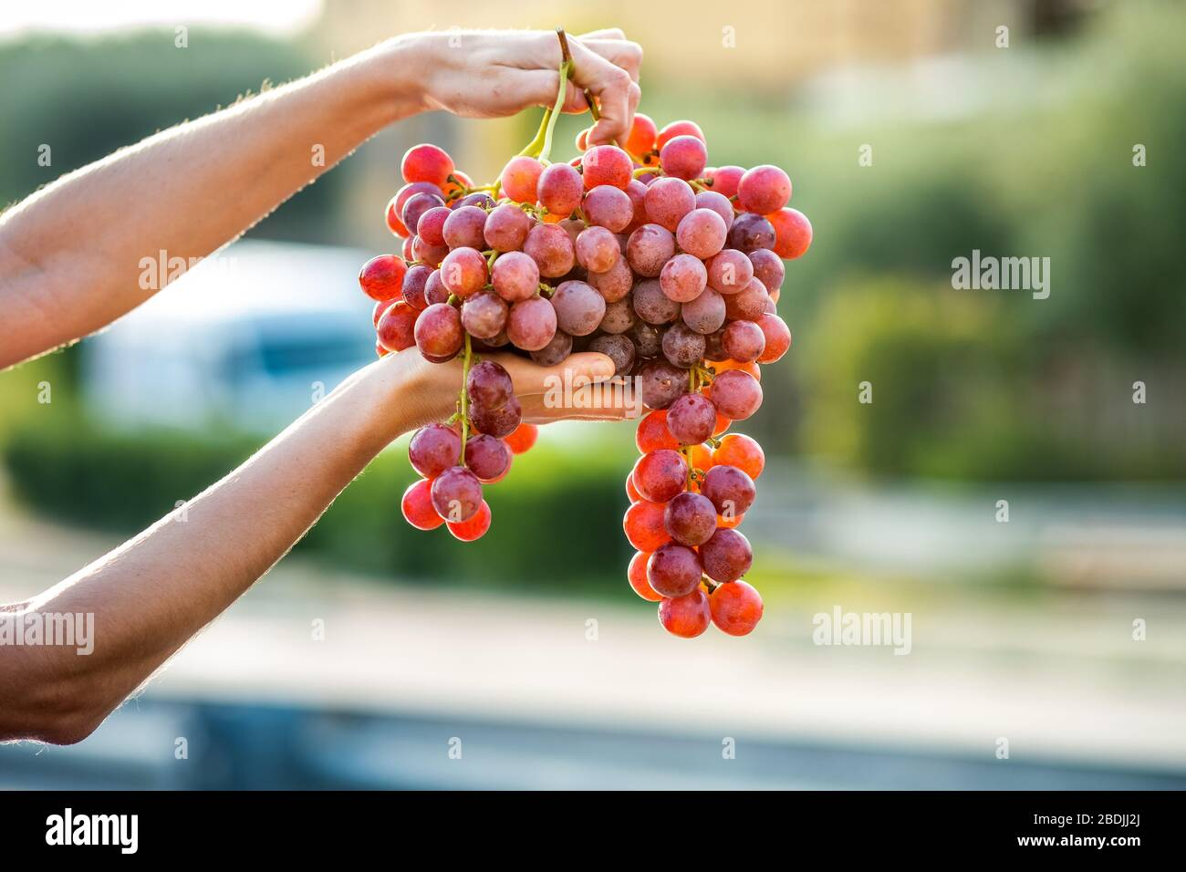 A woman holding big cluster of red juicy grapes in her hand Stock Photo - Alamy